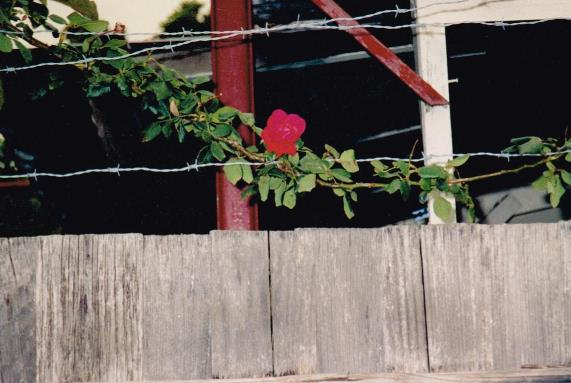 A flower in the barbed wire.
